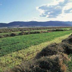 GMO Alfalfa Contamination a Growing Problem
